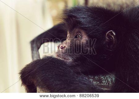 Lying black headed spider monkey close-up