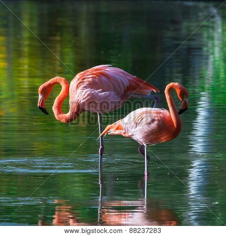 Two Pink Flamingos Stand In The Water With Reflections