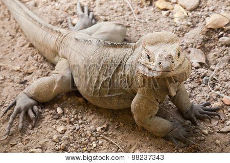Closeup Portrait Of Rhinoceros Iguana Lizard