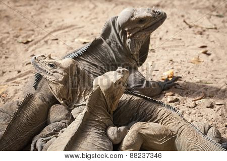 Group Of Rhinoceros Iguanas, Lizards, Family Iguanidae