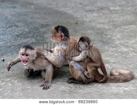 Capuchin Monkey In The Town Of Misahualli,  Amazon, Ecuador