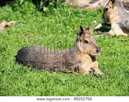 South American Cavy