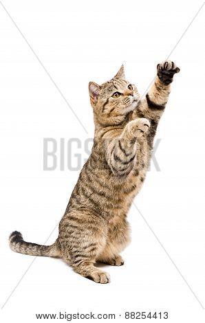 Portrait of a frisky playful cat Scottish Straight