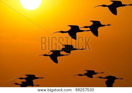 Bird Flock Sun Sky Silhouette