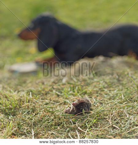 Dachshund Dog Laying By Dead Mole