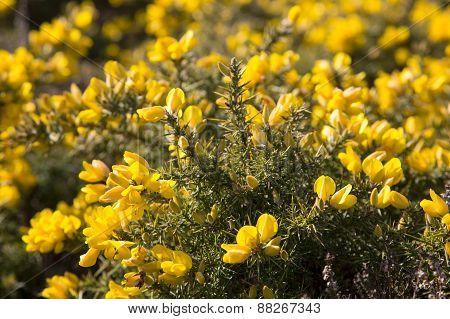 Bright yellow common gorse flowers