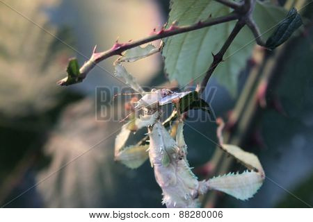 Giant Prickly Stick Insect (extatosoma Tiaratum) Eating Leaf