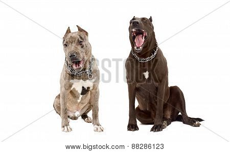 Two yawning dogs