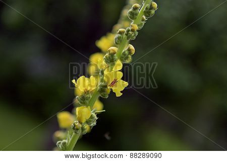 Close up on a yellow flowers and buds in a garden.