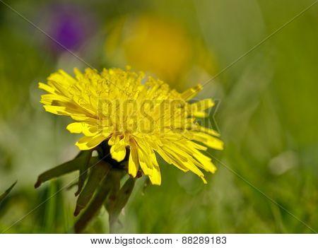 Close up on dandelion, Taraxacum  flower in a garden.