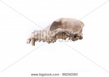 Animal skull.