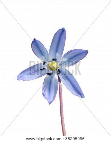 Siberian Squill  Flower