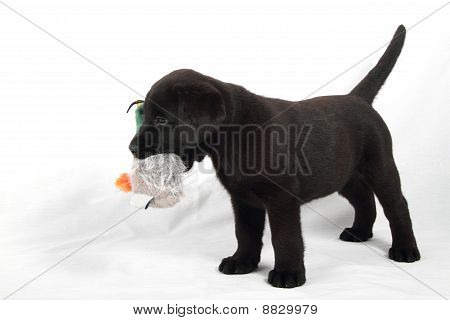 Studio Portrait Of Baby Labrador With Duck Stuffed Animals