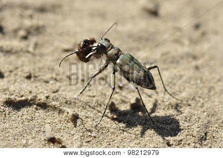 Tiger beetle (Cicindela)