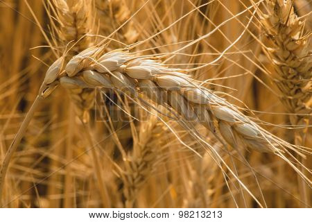 Spikelets of wheat