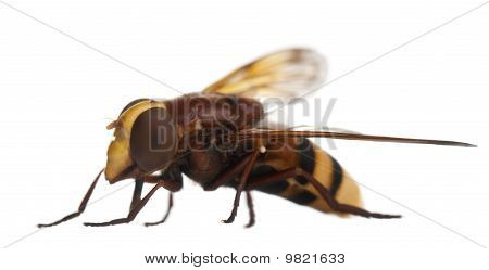 Hornet mimic hoverfly Volucella zonaria in front of white background poster
