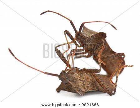 Dock Bugs Mating, Coreus Marginatus, In Front Of White Background