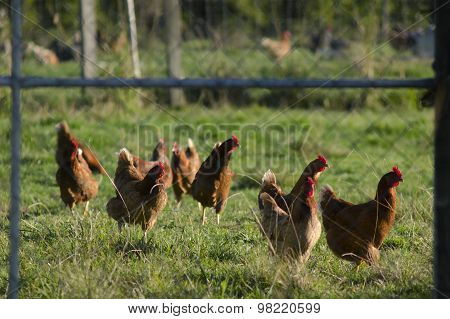 Photo of a pen with hens or chooks