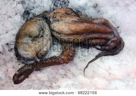 Dead Octopus in a box full of ice.