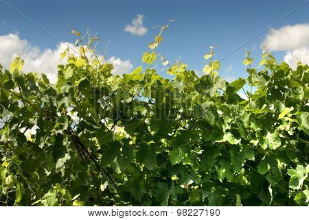 Leaves And New Growth Of A Grape Vine