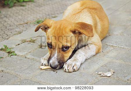 Homeless Little Puppy Gnawing A Bone