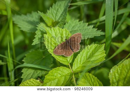 Aphantopus Hyperanthus Butterfly On A Green Plant