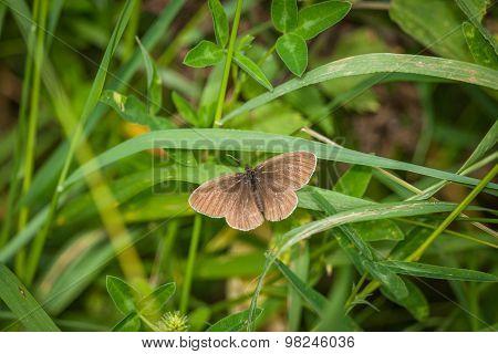 Aphantopus Hyperanthus Butterfly In A Garden