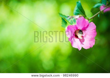 Bumblebee Pollinates The Flower Hibiscus