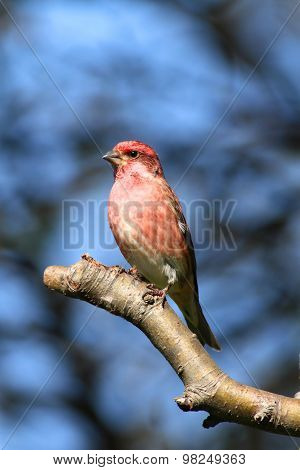 Purple Finch (carpodacus Purpureus) On Blue