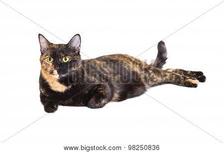 Mixed Breed Cat Tortoiseshell Color
