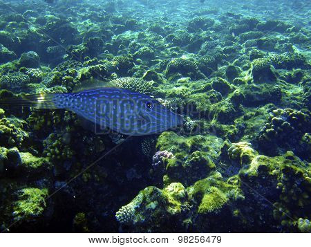 Strange Blue Fish Swimming Near Coral Reef. Underwater Photo.