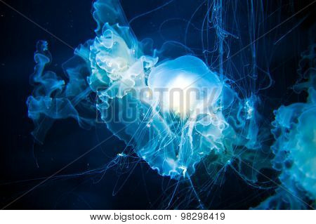 Jellyfish With Long Stinging Tentacles