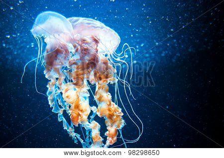 Jellyfish Under Water