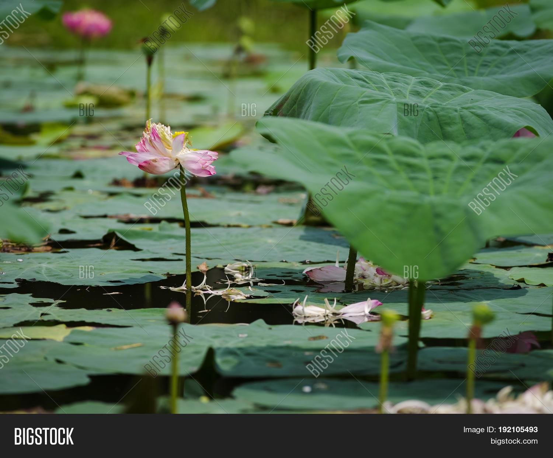 Dead lotus flower image photo free trial bigstock dead lotus flower with falling petals on green leaf izmirmasajfo