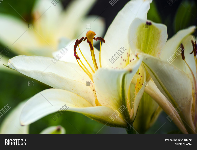White Lilies Flowers Image Photo Free Trial Bigstock