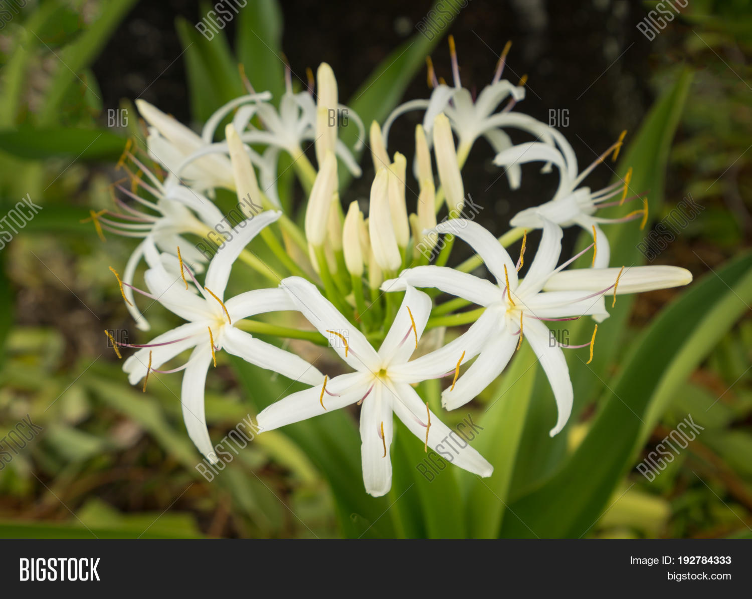 White Spider Lily Image Photo Free Trial Bigstock