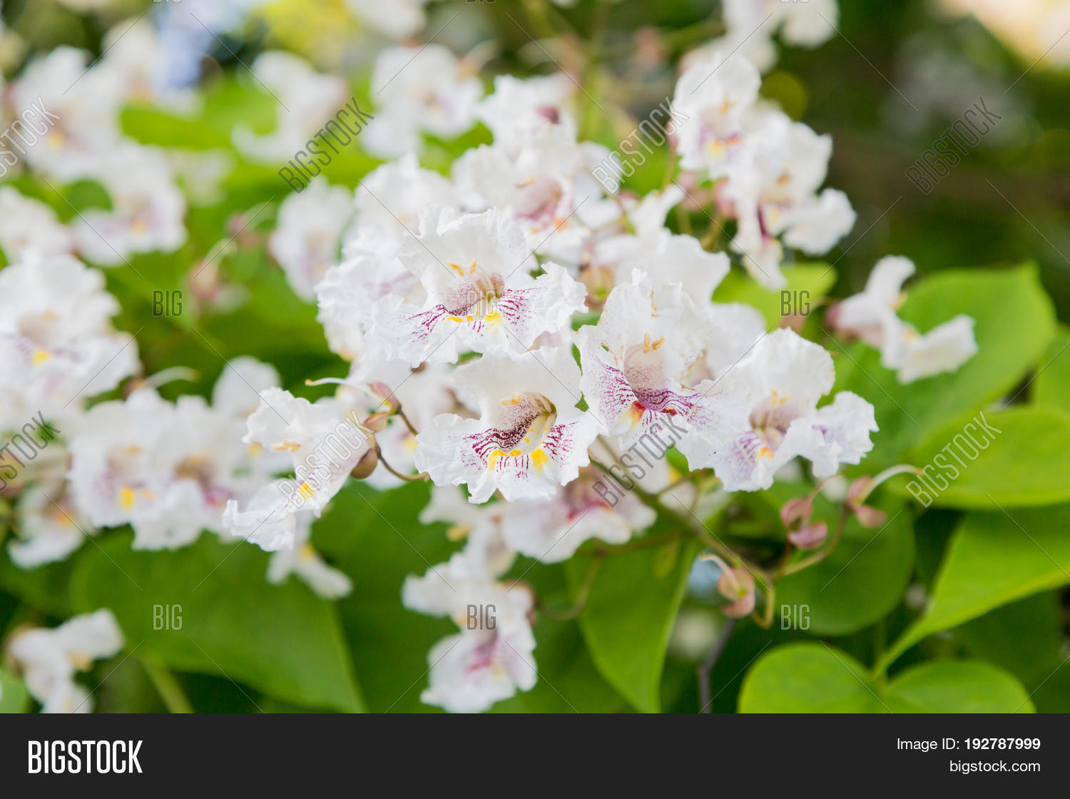 Flowering tree catalpa image photo free trial bigstock flowering tree catalpa bignonioides white flowers and green leaves on blurred background mightylinksfo