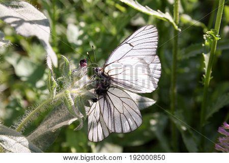 Butterflies. Dance Of Love
