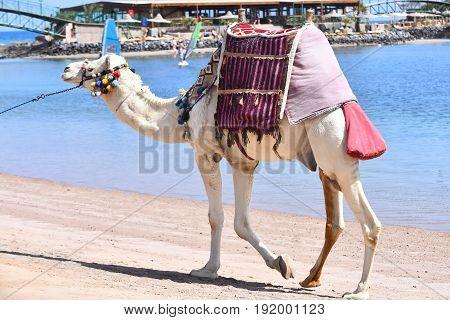 Domestic Camel Walking Along Beach