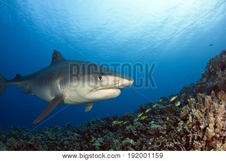 A tiger shark swims over the reef at Kona, Hawaii
