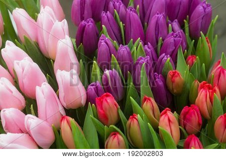 Tulips With Green Leaves