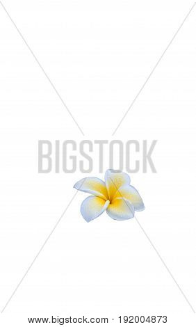 Delicate open white and yellow frangipani flower  moist with morning dew isolated on white