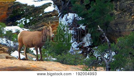 Young desert big horn sheep in Zion National park, Utah