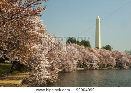 Cherry blossoms with Washington Monument in the background