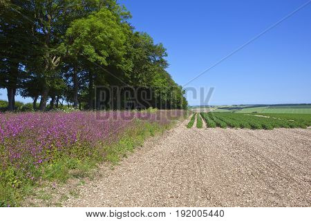 Red Campion And Potato Crop