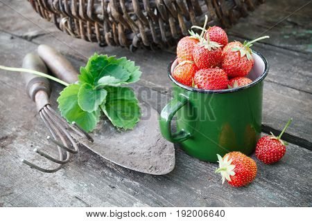 Enameled Mug Of Strawberries, Basket, Rake And Shovel On Rustic Table In Garden Outdoors.