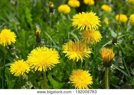 An area with many blooming yellow dandelion