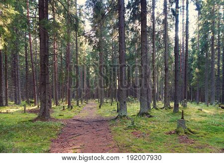 The Path In The Spruce Forest, Leaving In The Thicket, The Roots Of The Trees Overtake The Path, The