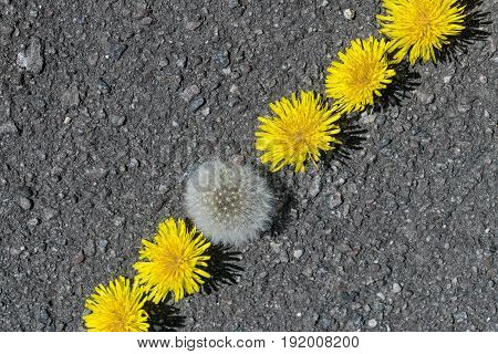 On the pavement lie the heads of dandelions without stems in a diagonal line. All the yellow dandelions and one fluffy. One different from all the others.