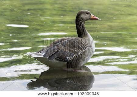 View on a beautiful Greylag Goose at the Lake. A Greylag Goose sits in the Water. Close-up of a relaxed Greylag Goose (Anser) in the Morning.